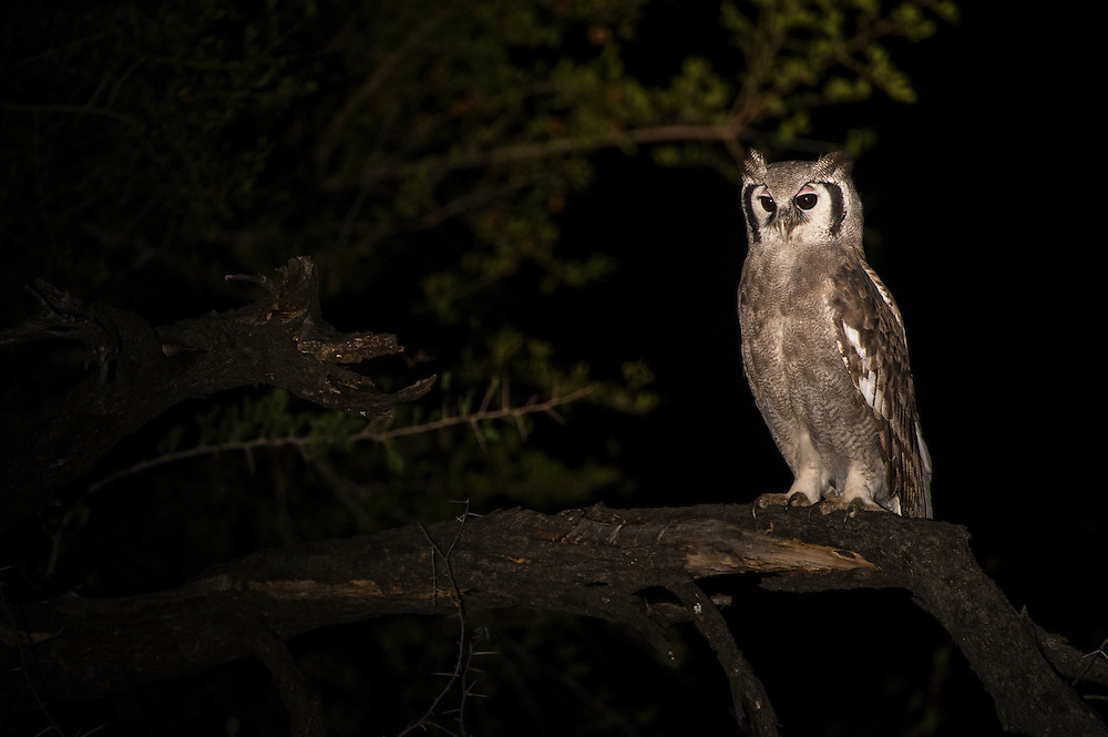 Giant Eagle Owl (Bubo lacteus)<br /> Marakele Private Reserve, Waterberg Biosphere Reserve<br /> Limpopo Province<br /> SOUTH AFRICA<br /> HABITAT & RANGE: Woodland, Savannah & tree-lined watercourses of Africa south of the Sahara