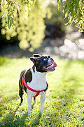 A cute Boston Terrier in Charleson Park