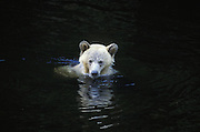 Grizzly Bear<br /> Ursus arctos<br /> Swimming in river<br /> Knight Inlet, Glendale River, British Columbia