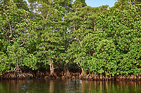 mangrove in Palawan Philippines