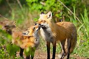 Red Fox, Vulpes vulpes, kit & adult, Iosco County, Michigan