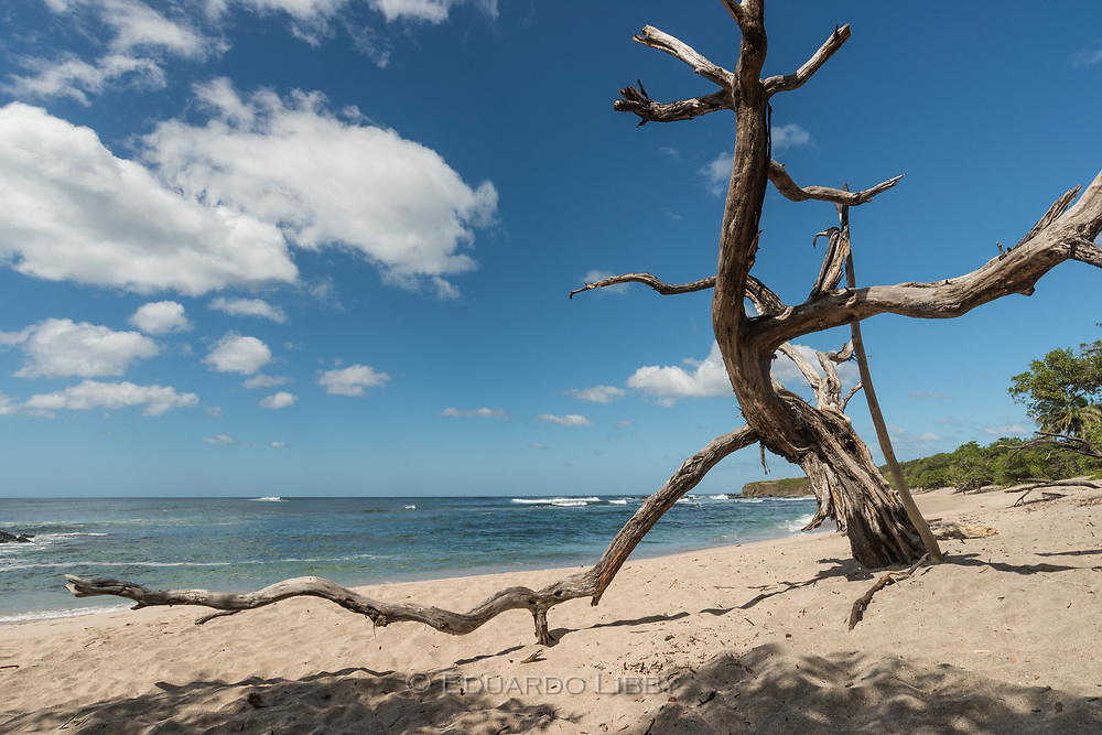 The skeleton of a tropical Manchineel (Manzanillo) tree frames the view of the ocean. Playa Blanca, Guanacaste, Costa Rica.