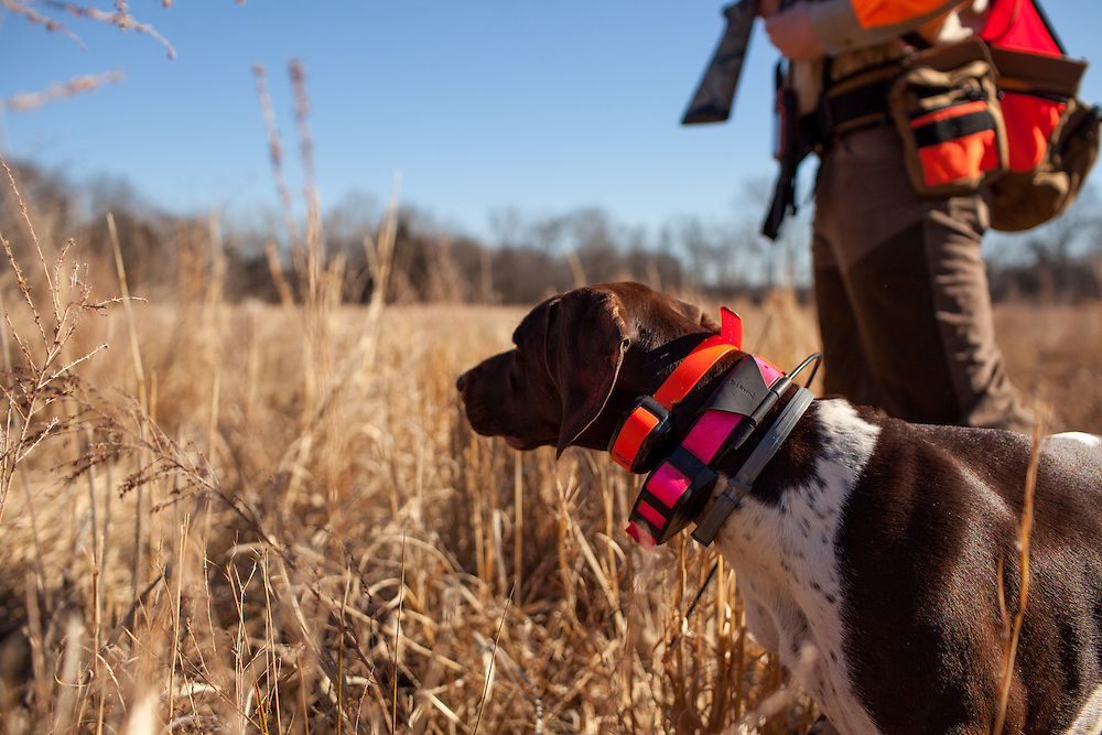German Shorthaired Pointer on point during a quail hunt at Orapax Hunting Preserve in Virginia.