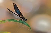 Damselfly from the genus Euphaea. Tabin, Sabah, Borneo.
