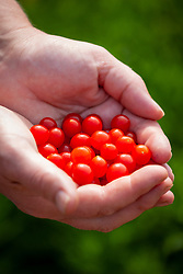 Handful of tomberries - an unusually small cultivar of tomato