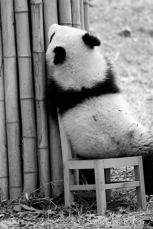 visit to a panda breeding center in chengdu china. this is a baby panda in his play yard just hanging out in a chair