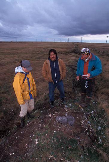 Snowy Owl, (Nyctea scandiaca) Denver Holt and Julie Peterson with representative of Inupiat Corp. Barrow, Alaska.