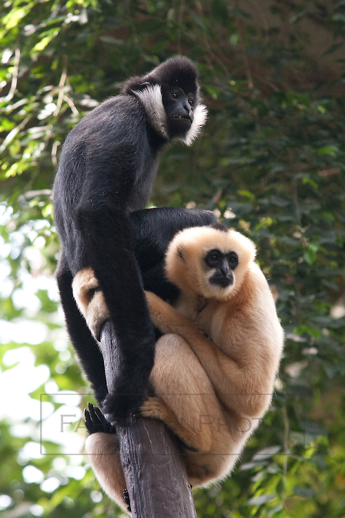 A pair of Gibbons in a tree