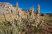 Blooming yucca at the mouth of Clarke's Fork Canyon
