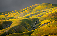 The superbloom of the Carrizo Plains. The usually brown hills are painted by the Hillside daisy and California goldfields. The dramatic light of the sunset kissed the land and brought out the very best of the flower fields this particular evening. Notice the subtle purple from Phacelias on the rolling hills.