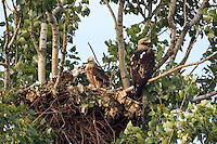 Kaiseradler mit Jungen am Nest, Aquila heliaca, Ost-Slowakei / Eastern Imperial Eagle with chicks at nest, Aquila heliaca, East Slovakia