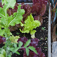 Red and green leaf lettuces grwoing in a wood planter box on an inventive urban rooftop container garden
