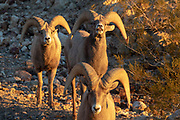 Endangered desert bighorn rams in Arizona and Nevada
