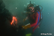 diver Bud Turpin shapes erupting pillow lava by hand to form underwater lava sculptures at ocean entry from Kilauea Volcano, Hawaii Island ( the Big Island ), Hawaii, U.S.A. ( Central Pacific Ocean ) MR 348