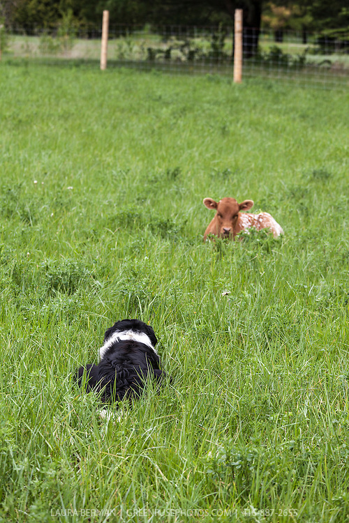 Black and white Border Collie herding Texas Longhorn cattle.