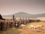 "05 JUNE 2011 - GREER, AZ: Smoke from the Wallow Fire covers the Sheep Springs Sheep Co shearing camp on the Mogollon Rim northwest of Greer Sunday. Mark Pedersen (CQ), of Sheep Springs Sheep Co, said they drove about 2,000 sheep from Chandler up to their summer pastures near Greer. They were supposed to start shearing on Friday, but didn't start till Friday because of the Wallow Fire. They also run cattle on land southeast of the sheep pasture, closer to Greer. Pedersen said they were prepared to move both the cattle and the sheep if they had to. He said the biggest problem with the smoke was that it bothered the sheeps' lungs much the same way it bother people's lungs. The fire grew to more than 180,000 acres by Sunday with zero containment. A ""Type I"" incident command team has taken command of the fire.   PHOTO BY JACK KURTZ"