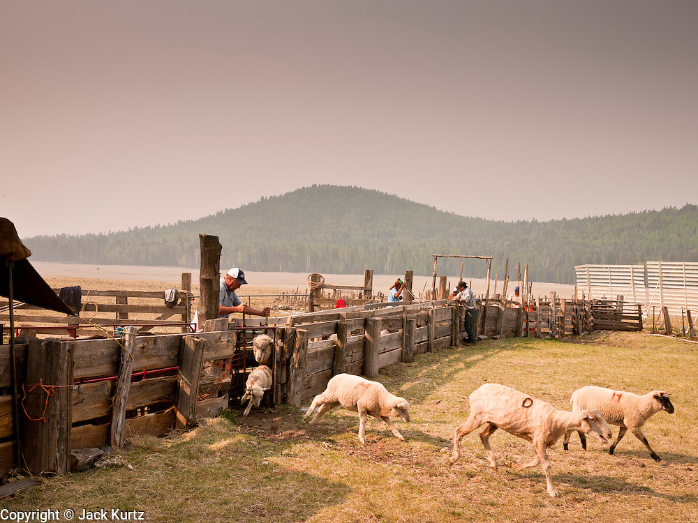 """05 JUNE 2011 - GREER, AZ: Smoke from the Wallow Fire covers the Sheep Springs Sheep Co shearing camp on the Mogollon Rim northwest of Greer Sunday. Mark Pedersen (CQ), of Sheep Springs Sheep Co, said they drove about 2,000 sheep from Chandler up to their summer pastures near Greer. They were supposed to start shearing on Friday, but didn't start till Friday because of the Wallow Fire. They also run cattle on land southeast of the sheep pasture, closer to Greer. Pedersen said they were prepared to move both the cattle and the sheep if they had to. He said the biggest problem with the smoke was that it bothered the sheeps' lungs much the same way it bother people's lungs. The fire grew to more than 180,000 acres by Sunday with zero containment. A """"Type I"""" incident command team has taken command of the fire.   PHOTO BY JACK KURTZ"""