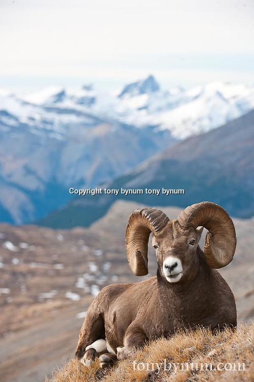 trophy bighorn ram  big mountain background wild rocky mountain big horn sheep