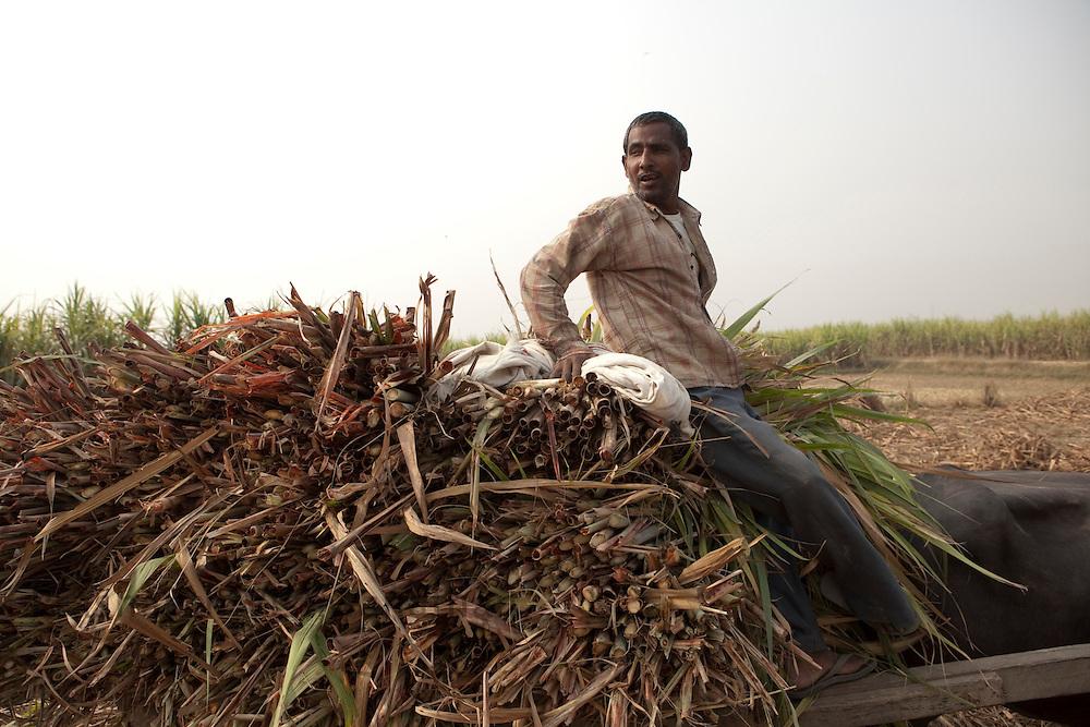 A farmer sits on cut sugar cane stalks loaded on a bullock cart in the outskirts of Modi Nagar, in Uttarpradesh, India, on Friday, November 12, 2010. Photographer: Prashanth Vishwanathan/Bloomberg News