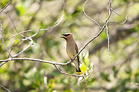 Cedar Waxwing this bird survives on berries and insects in open forests.