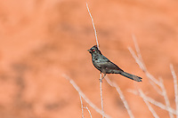 A red-eyed male Phainopepla hesitates for a second as I press the shutter in Southern Nevada on a chilly spring morning. This common bird to Mexico is frequently seen in the extreme lower southwestern United States.