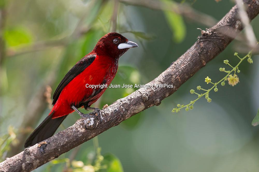 Crimson-backed Tanager (Ramphocelus dimidiatus), Cali, Valle del Cauca