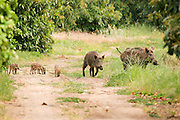 A family of wild boar (Sus scrofa)