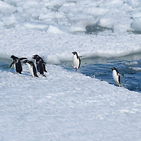 Adelie Penguins leaping out of the water in McMurdo Sound, Antarctica.