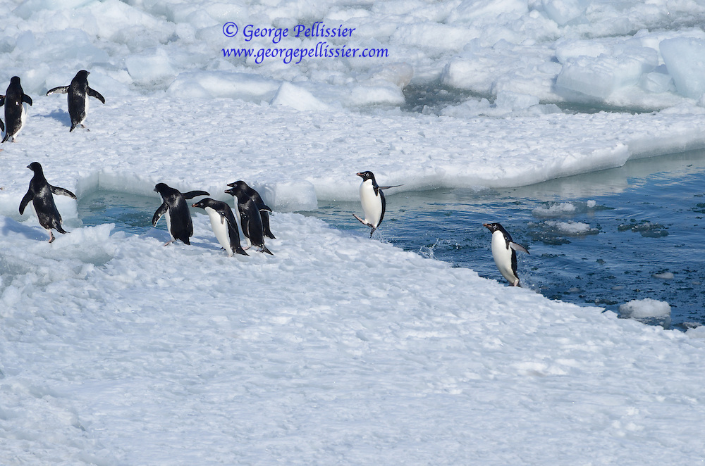 Adelie Penguins (Pygoscelis adeliae) leaping out of the water in McMurdo Sound, Antarctica.