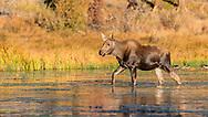 This years' moose calf walking across the lake