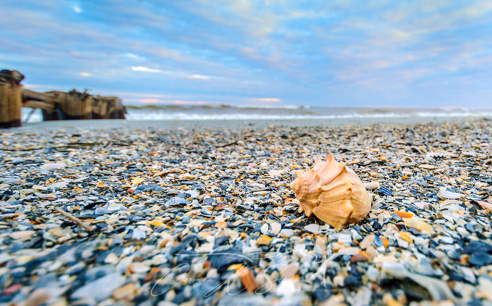 A knobbed whelk seashell (Busycon carica) lays on Folly Beach, Oct. 12, 2015, in Folly Beach, South Carolina. Whelks are believed to have lived on the South Carolina coast for more than 30 million years. The knobbed whelk, one of the most frequently found whelks, is the state shell of Georgia and New Jersey. Whelks are carnivorous gastropods that feed on clams and other bivalves. (Photo by Carmen K. Sisson/Cloudybright)