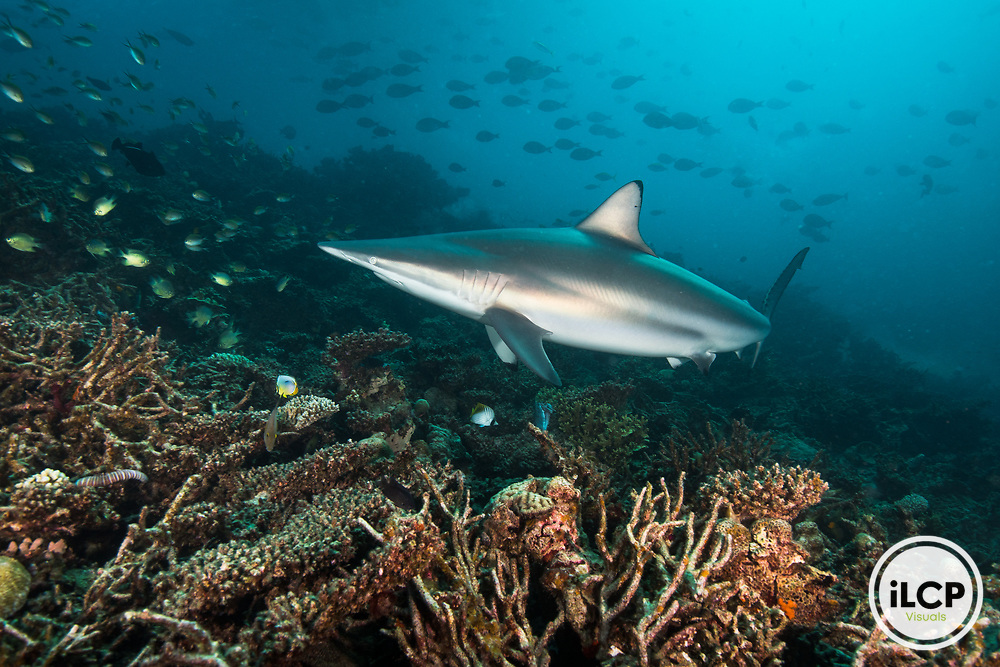 A Spinner shark, Carcharhinus brevipinna cruises among school of fishes in the reef of Kooddoo Island, Republic of Maldives. With the complete ban on shark fishing, the population of sharks in Maldivian waters remain abundant, which also gives the nation a substantial economical benefit from shark tourism.