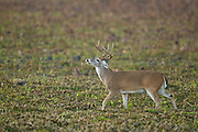 Whitetail buck during the rut in Texas