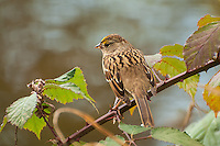 A golden-crowned sparrow perches on a blackberry limb on a chilly autumn afternoon in Medina, Washington.