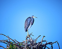 Tricolored Heron. Biolab Road, Merritt Island National Wildlife Refuge. Image taken with a Nikon D800 camera and 400 mm f/2.8 lens (ISO 125, 400 mm, f/2.8, 1/1600 sec).