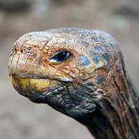 South America, Ecuador, Galapagos Islands. Galapagos Tortoise head.