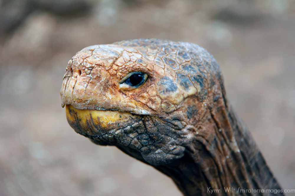 South America, Ecuador, Galapagos Islands. Galapagos Tortoise head.