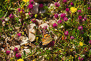 Plain Tiger butterfly (Danaus chrysippus) AKA African Monarch Butterfly shot in Israel, in April