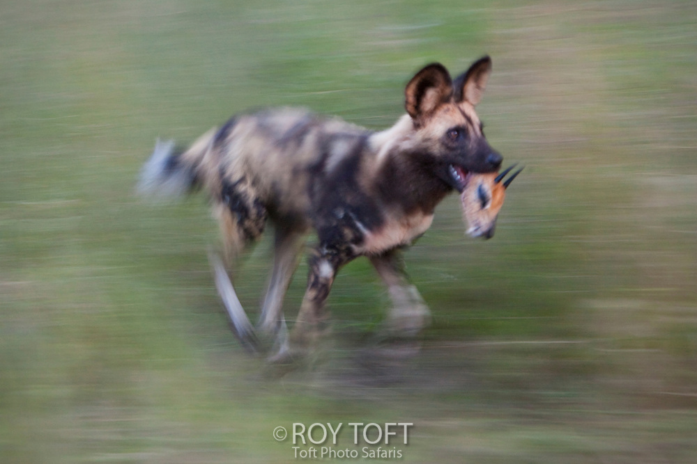 African Wild Hunting Dog running with antelope head: During one of my Botswana tours, we watched a group of endangered Wild Hunting Dogs make a Steenbok Antelope kill. One of the dogs grabbed the head of the prey and ran by my position. To maximize the motion, I paned with the Wild Dog at 1/20th sec shutter speed. This image won the Gerald Durrell award in the BBC photo contest for 2007.
