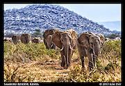 Elephants Going To Ewaso Ng'iro River<br /> Samburu National Reserve, Kenya<br /> September 2012