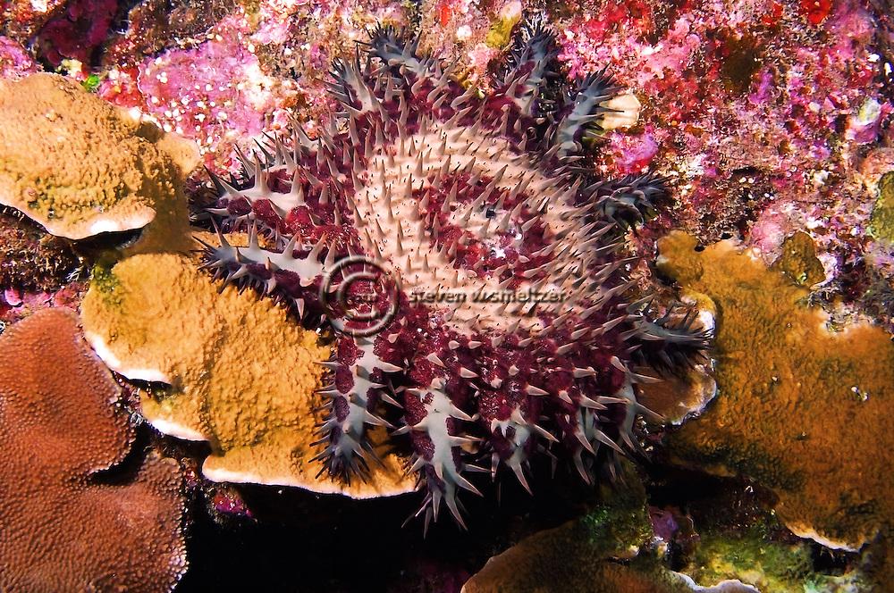 Crown of Thorns starfish, Acanthaster planci, (Linnaeus, 1758), Lanai Hawaii