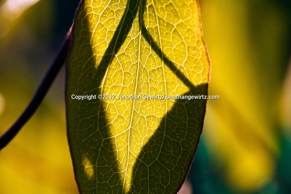 Diffuse sunlight shows the vein structure of a tree leaf. WATERMARKS WILL NOT APPEAR ON PRINTS OR LICENSED IMAGES.