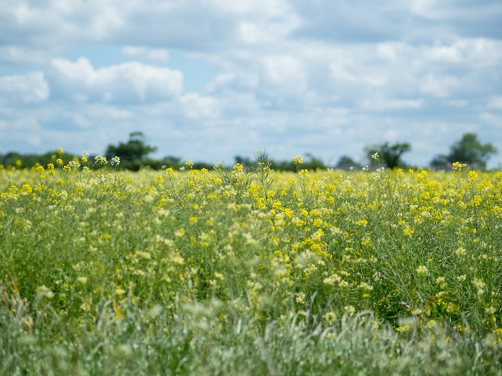 Field of wild flowers at Grosvenor Estate's Lea Farm including a speech from His Grace the Duke of Westminster and a visit from Eccleston Primary School
