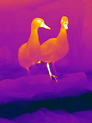 Thermogram of two Cinnamon Teal Ducks. (Anas cvanoptera)  Note the warm leg on the duck on the right - the ducks tuck one leg under their feathers to keep warm.  The different colors represent different temperatures on the object. The lightest colors are the hottest temperatures, while the darker colors represent a cooler temperature.  Thermography uses special cameras that can detect light in the far-infrared range of the electromagnetic spectrum (900?14,000 nanometers or 0.9?14 µm) and creates an  image of the objects temperature..