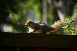 A squirrel negotiates the fence separating two yards in Oakland, Calif., Wednesday, March 22, 2017. (Photo by D. Ross Cameron)