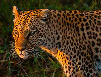 Leopard, Kwando Concession, Linyanti Marshes, Botswana.