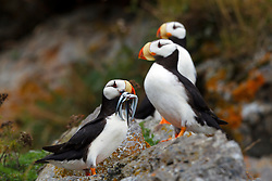 Group of Horned Puffins (Fratercula corniculata) watching a puffin with needle fish, Duck Island, Tuxedni Wilderness, Alaska Maritime National Wildlife Refuge, Alaska, United States of America