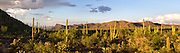Saguaro National Park West vista panorama at sundown