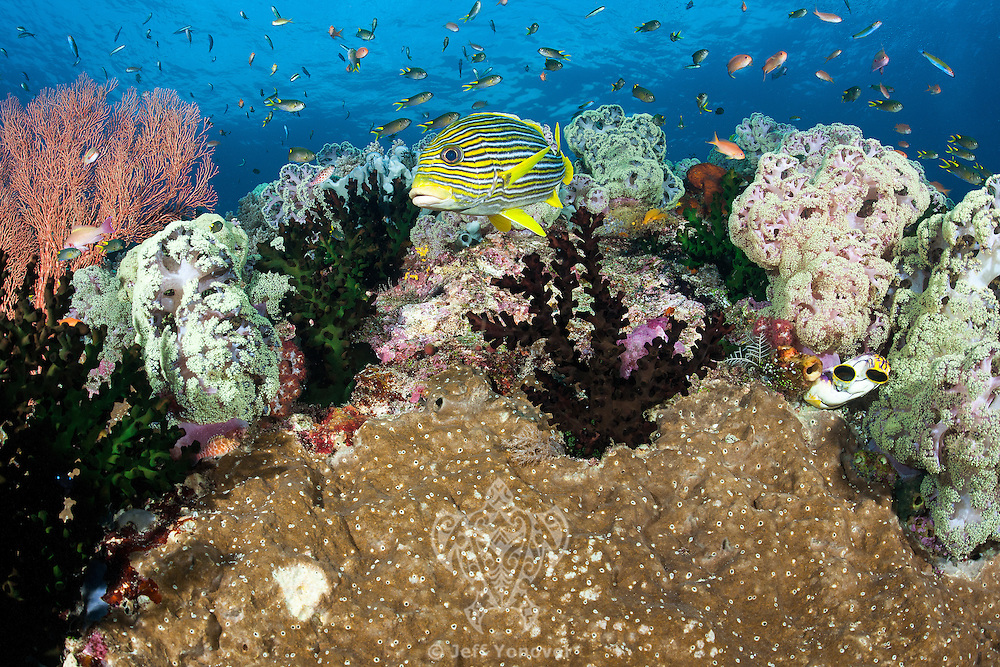Ribbon Sweetlips and smaller reef fishes<br /> <br /> Shot in Indonesia