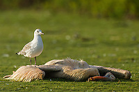 A Hartlaubs Gull catches insects congregating at a Great White Pelican carcass, Dassen Island, Western Cape, South Africa